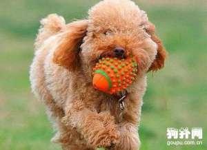 不想玩玩具?狗狗你到底怎么了?
